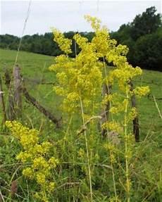 ambrosia blühend lila gelbbl 252 hende blumen wildpflanzen wildpflanzenfotos