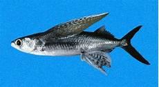 Nama Ikan Laut Yang Bisa Terbang Lengkap Dengan Jenis