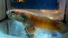 Jenis Ikan Jenis Dan Harga Ikan Cupang Binatang