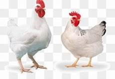 Ayam Pedaging Cornish Ayam Ayam Gambar Png