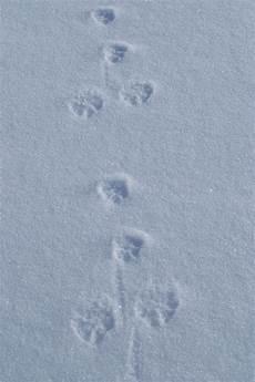 marderspuren im schnee komische spuren im schnee seite 4 allmystery
