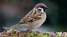 Gambar Burung Gereja Jantan Gambar Burung