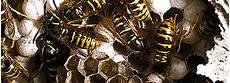 Wespen Vertreiben Hausmittel - rentokil tipps wie wespen behandeln beseitigen