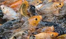 Klasifikasi Morfologi Ikan Cyprinus Carpio Lengkap