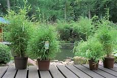 bambus pflanzen und pflegen hornbach