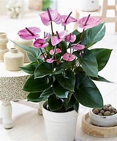 buy house plants now anthurium purple bakker