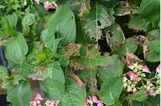 hortensien blätter werden braun minig 228 rtchen 2013 teil 3 sommer page 36 mein