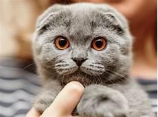 Kucing Kucing Scottish Fold Putih