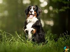 bernese mountain breed information uk pets