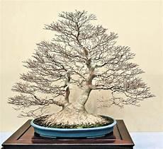 Kokufu Bonsai Pflanzen Bonsai Baum Und Bonsai