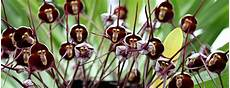 how to grow monkey orchids from seed a warning