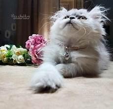 gattina persiana cucciolo gatto persiano chinchill 224 posot class