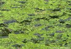 algen im teich fadenalgen bek 228 mpfen garten hausxxl