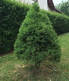 Weihnachtsbaum Im Topf Kaufen Pflegen Auspflanzen