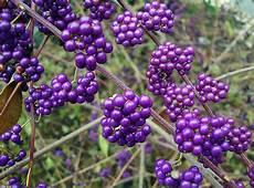 Strauch Mit Lila Beeren - callicarpa purple berry for sale