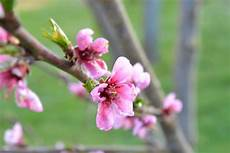 fiori di rosa fiori di pesco pistacchio e nocciola fiori rosa fiori di pesco