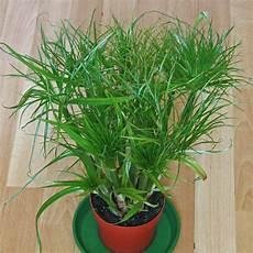 papyrus papyruspflanze cyperus papyrus