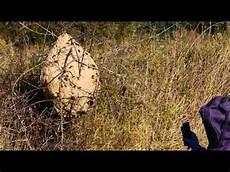 comment trouver un nid de frelon comment localiser un nid de frelon la r 233 ponse est sur
