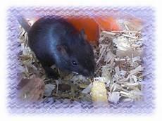 Kleine Haustiere Liste - eine kleine s 252 sse maus foto bild tiere haustiere