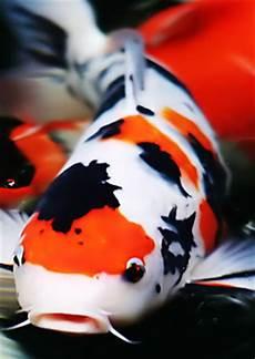 Foto Ikan Hias Koi Cantik Dan Unik Alam Mentari