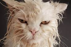 Cat Stock Photo Image Of Hilarious Miserable