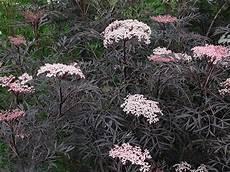 Holunder Black Lace - buy black elder syn black lace sambucus nigra f