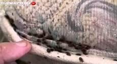cimici da letto uova sgradevoli ospiti le cimici da letto come combatterle