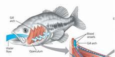 Morfologi Dan Anatomi Ikan Mujair Oreochromis Massambicus