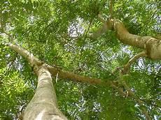 Pohon Peneduh Tak Sekadar Rindang Jurnal Asia