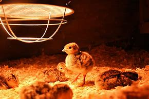 Image result for baby chickens light bulb heat