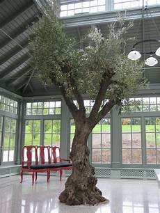 baum im raum indoor olive tree