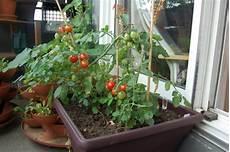 tomaten pflanzen balkon tomaten auf dem balkon pflanzen tipps zur richtigen