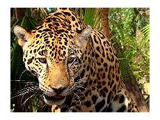 jaguar information for jaguar information for