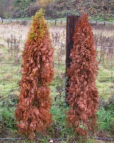 arborvitae what you need to about emerald greens