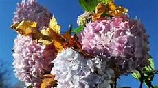 Hortensien Schneiden Wann Und Wie Werden Sie Gestutzt
