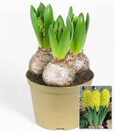 hyazinthe im topf gelb 1a zimmerpflanzen kaufen
