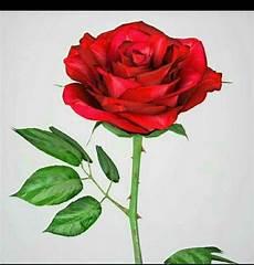 Terbaru 14 Setangkai Bunga Mawar Di Tangan Gambar Bunga Hd