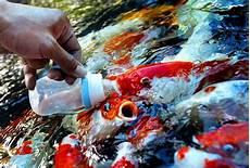 Cara Membuat Pakan Ikan Lele Agar Cepat Besar 187 Jempolkaki