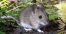 comment se débarrasser des rats de mulots comment lutter contre ce rongeur