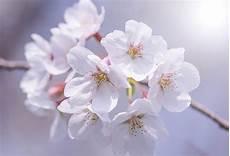 fior di ciliegio di fiori di ciliegio ramo primo piano scaricare foto gratis