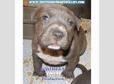 Southern Smoke Pitbulls, American Pit Bull Terrier Breeder