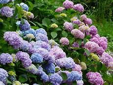 hortensien pflanzen und pflegen birchmeier spr 252 htechnik ag