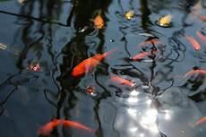 goldfisch haltung im teich schleierschwanz anleitung zur haltung im teich