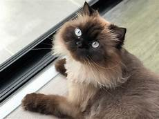 himalayan cats a guide to the popular hybrid the himalayan cat