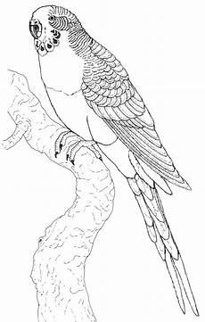 papagei bilder zum ausmalen vogel malvorlagen bilder