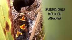 Burung Decu Memberi Makan Anaknya