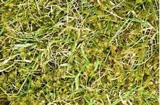 Rasen Mit Moos Kalken 187 So Bek 228 Mpfen Sie Das Moos