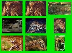 jaguar where do they live jaguars