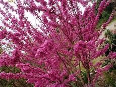 giardini in fiore foto seminte si plante de gradina hobby cercis siliquastrum