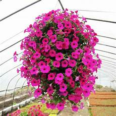 50pcs Garden Flowers Hanging Hybrida Seeds Home Decor